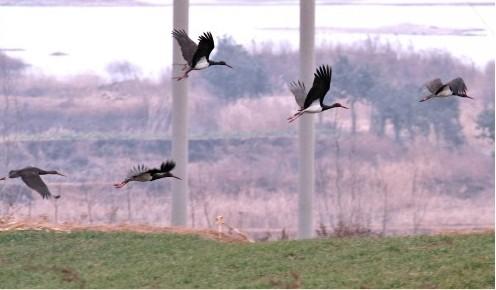 黑鹳飞临千河湿地 鸟中熊猫